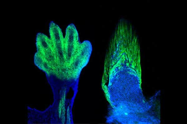 Markers of the wrists and digits in the limb of a mouse (left) are present in fish and demarcate the fin rays (right). The wrist and digits of tetrapods are the cellular and genetic equivalents of the fin rays of fish, according to new research. Credit: SHUBIN LABORATORY